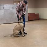 Bullmastiff training