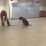 Rescue Pit Bull