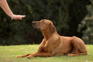 teaching a dog commands