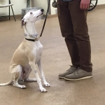 sighthound dog training